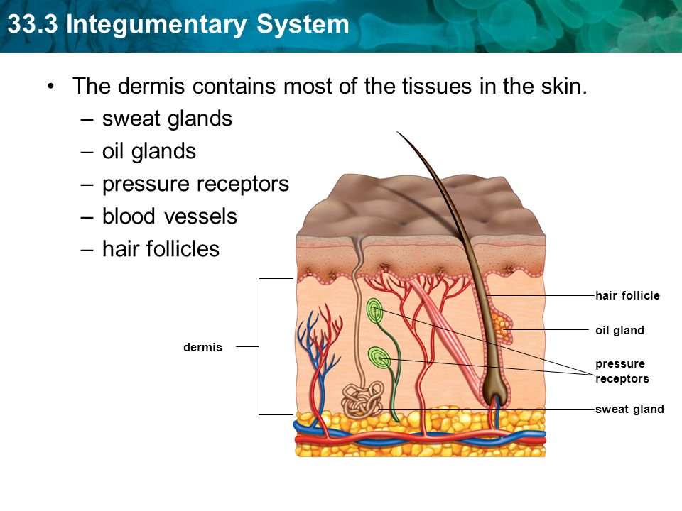 333 Integumentary System Key Concept The Integumentary System Has
