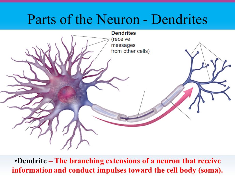 Parts of the Neuron - Dendrites Dendrite – The branching extensions of a neuron that receive information and conduct impulses toward the cell body (soma).