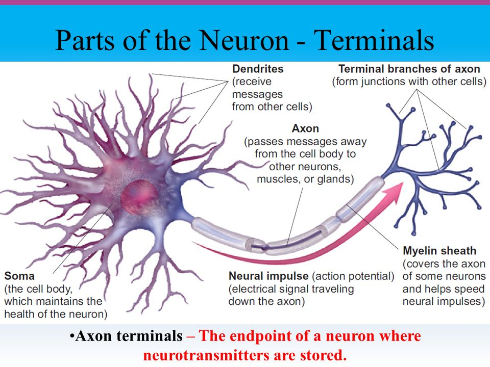Parts of the Neuron - Terminals Axon terminals – The endpoint of a neuron where neurotransmitters are stored.