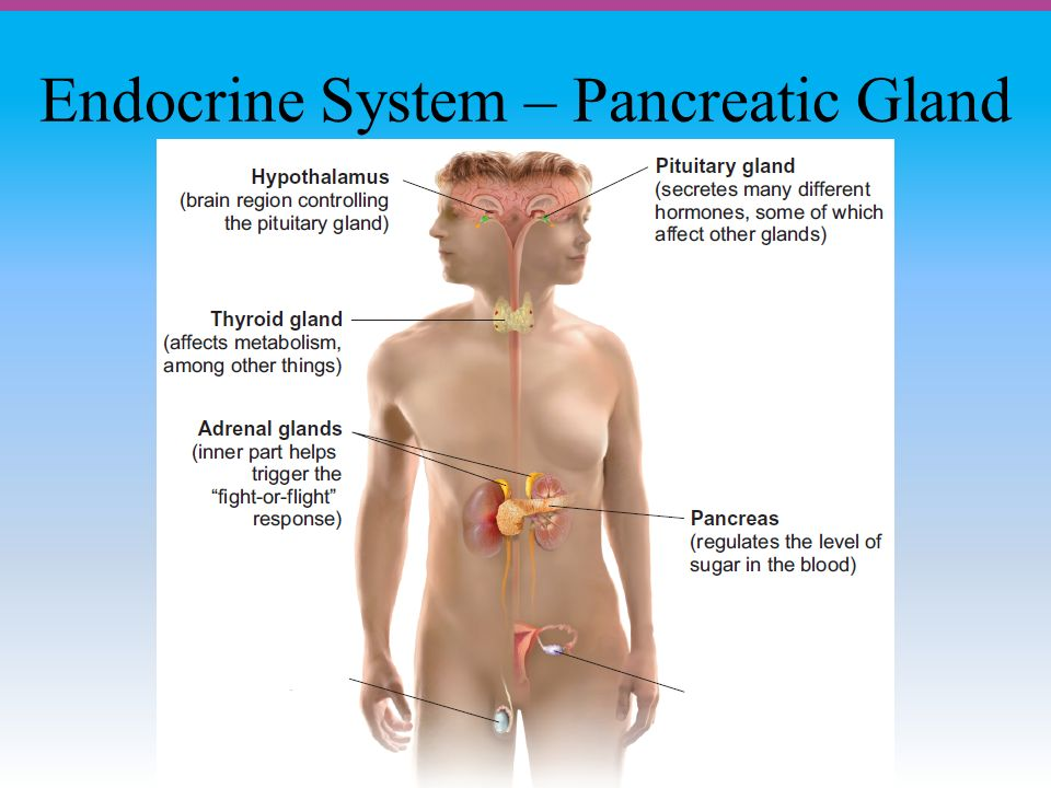Endocrine System – Pancreatic Gland