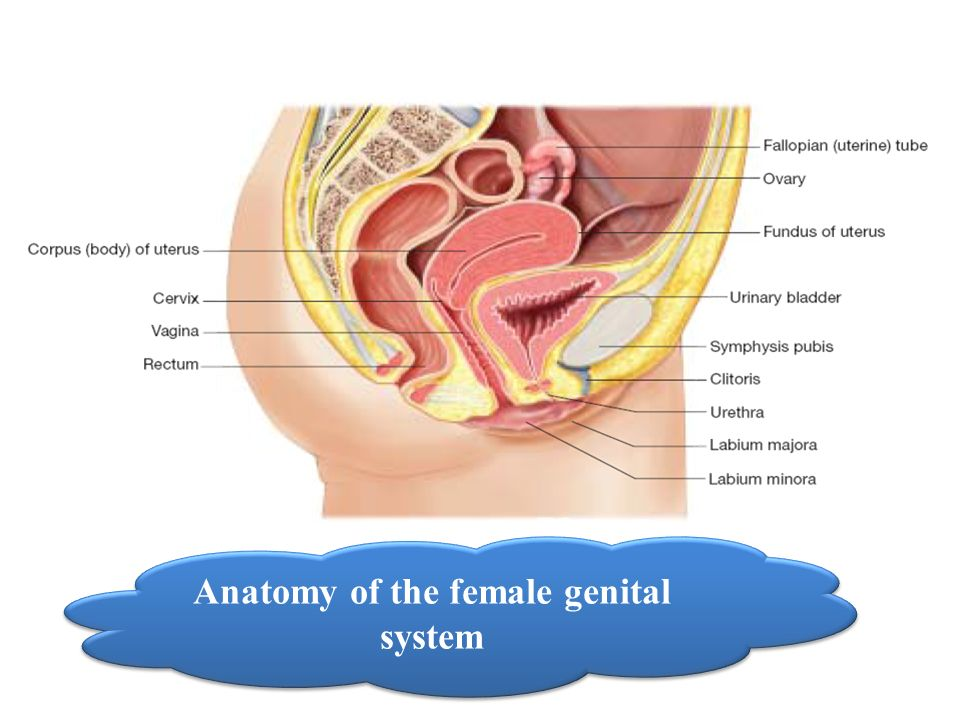 Anatomy Of The Female Genital Tract Dr Miada Mahmoud Rady Ems 473