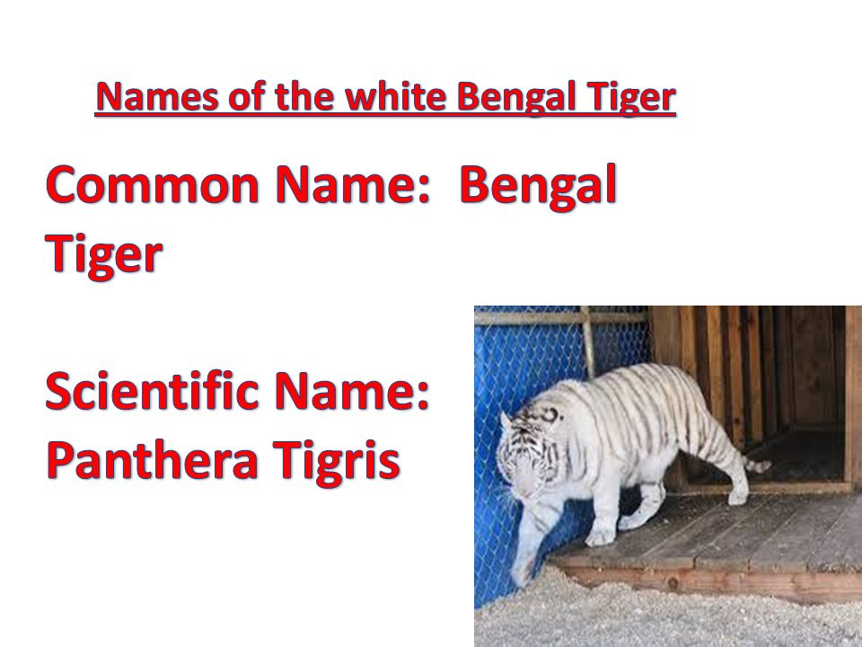White Bengal tigers are fully grown at years of age  Male