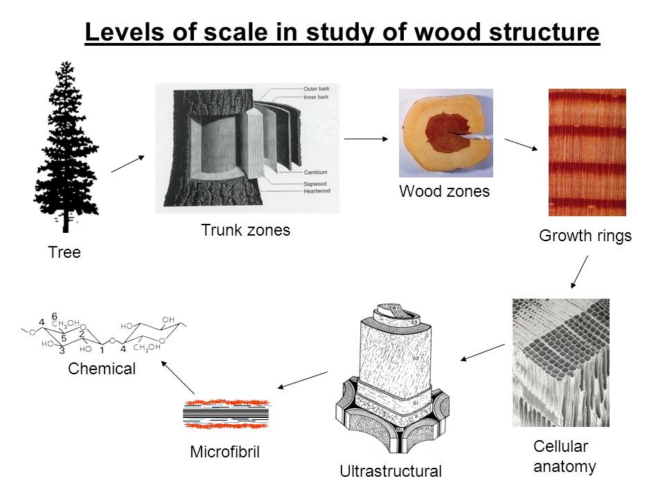 Tree Trunk Zones Wood Zones Growth Rings Cellular Anatomy