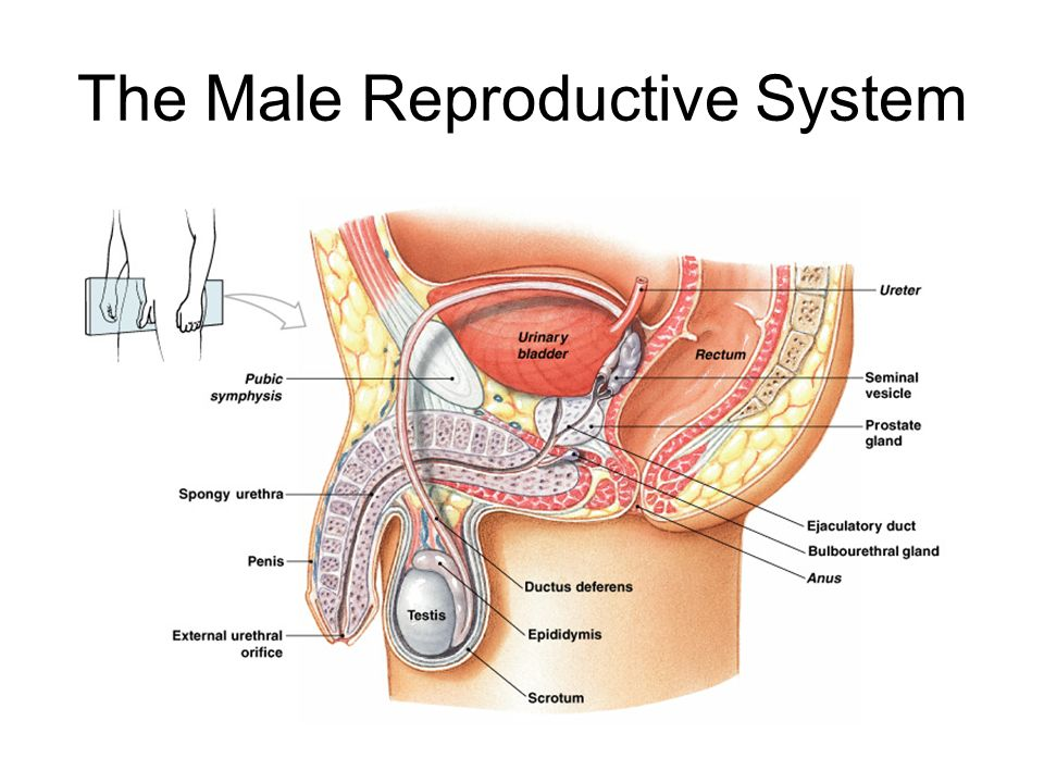 Lab 42 Reproductive Anatomy Be Able To Identify The Following