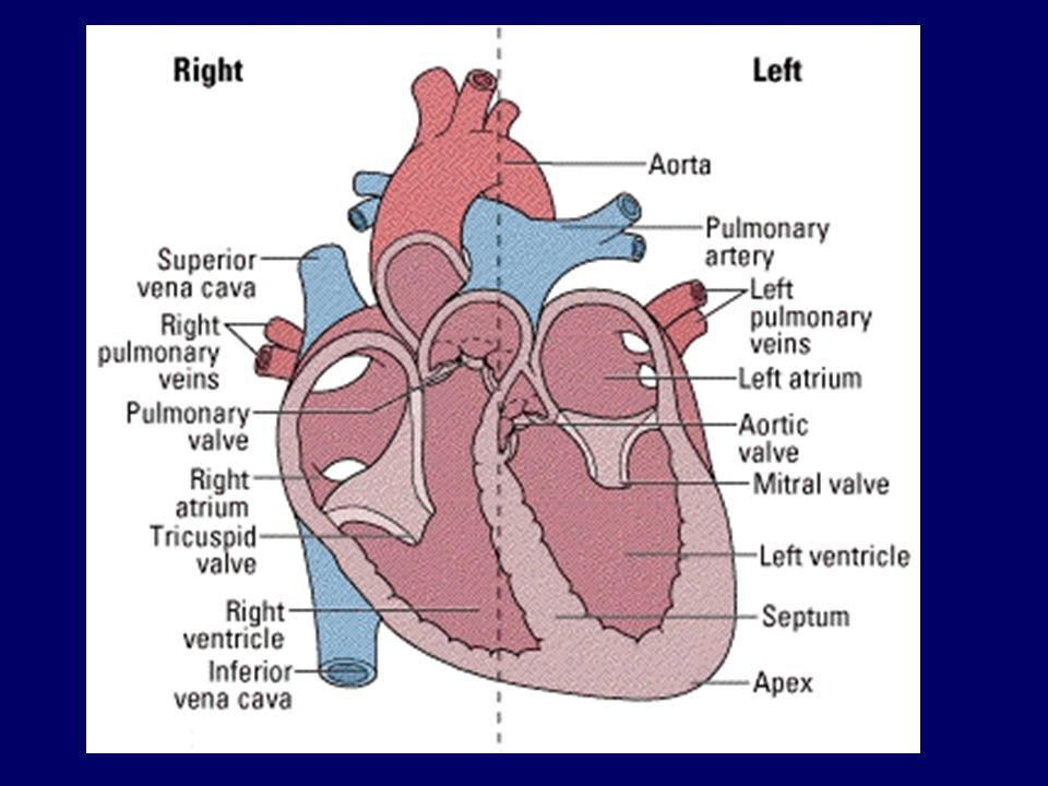 Learning objectives e label the different parts of the heart c 2 learning objectives e label the different parts of the heart c describe the heart cycle including the roles of the san avn bundle of his a ccuart Image collections