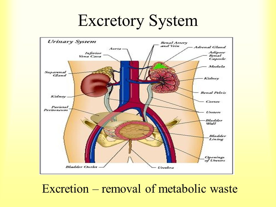 Excretory System Excretion Removal Of Metabolic Waste Ppt Download