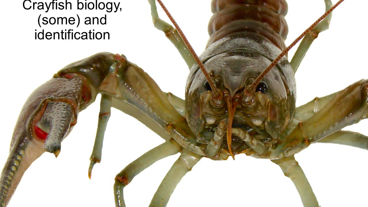 Crayfish biology, (some) and identification. Crayfish. - ppt download