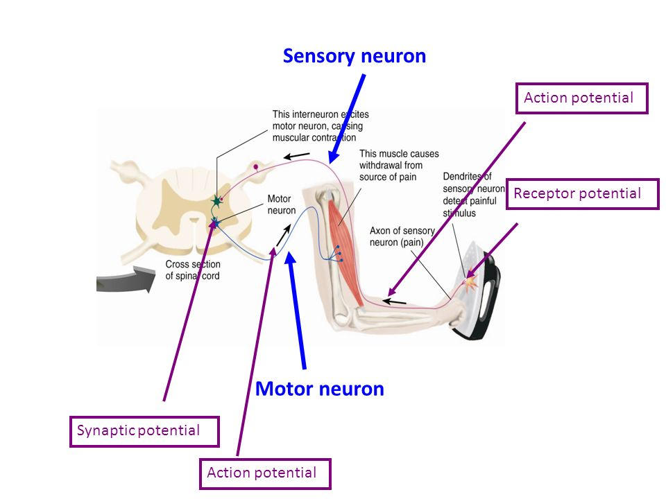 Neurotransmitters receptors sensory neuron motor neuron receptor 2 sensory neuron motor neuron receptor potentialaction potential synaptic potential action potential ccuart