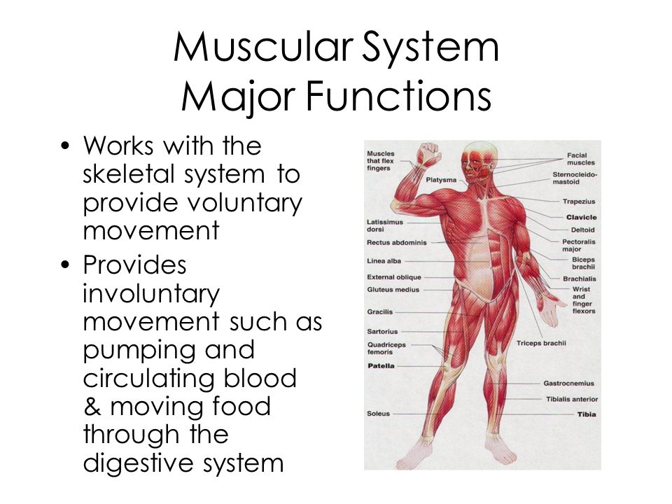 All About Muscular System Facts Functions Amp Diseases Live Science