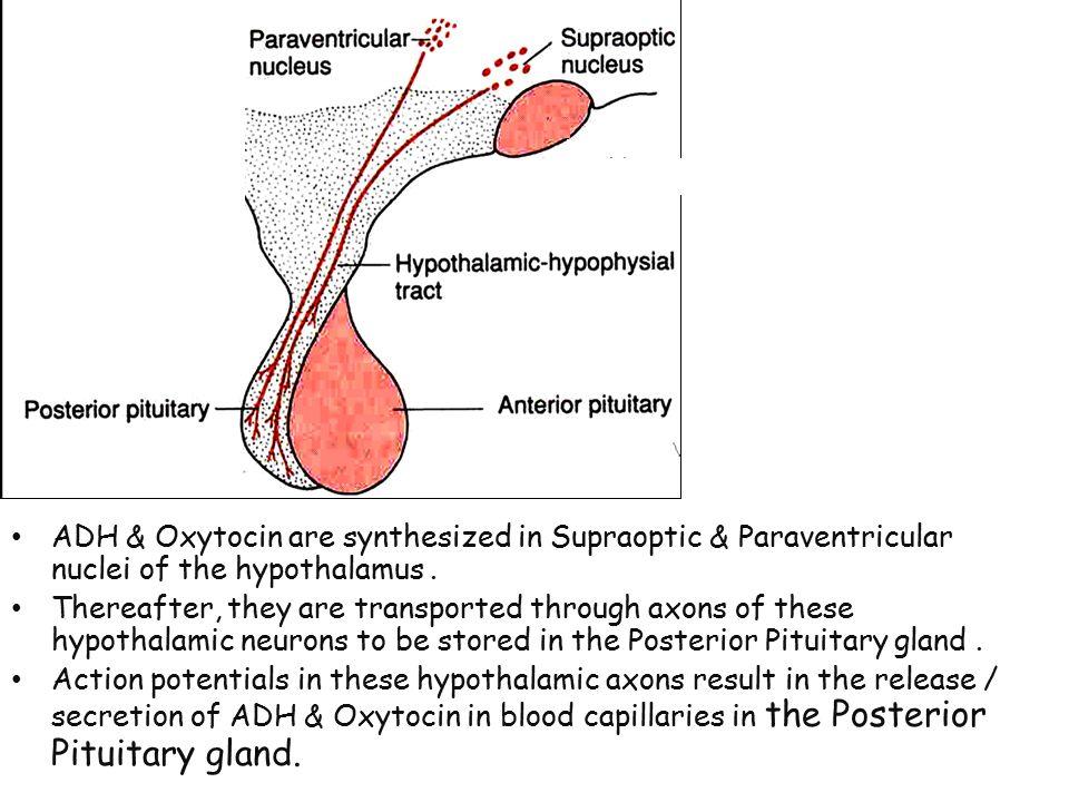 gland that secretes oxytocin