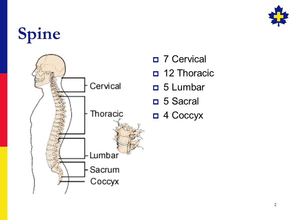 SPINAL INJURIES. 2 Spine  7 Cervical  12 Thoracic  5 Lumbar ...