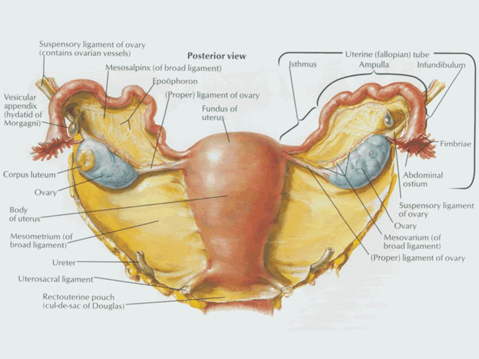 No Female Genital System 2. Perineum. - ppt video online download