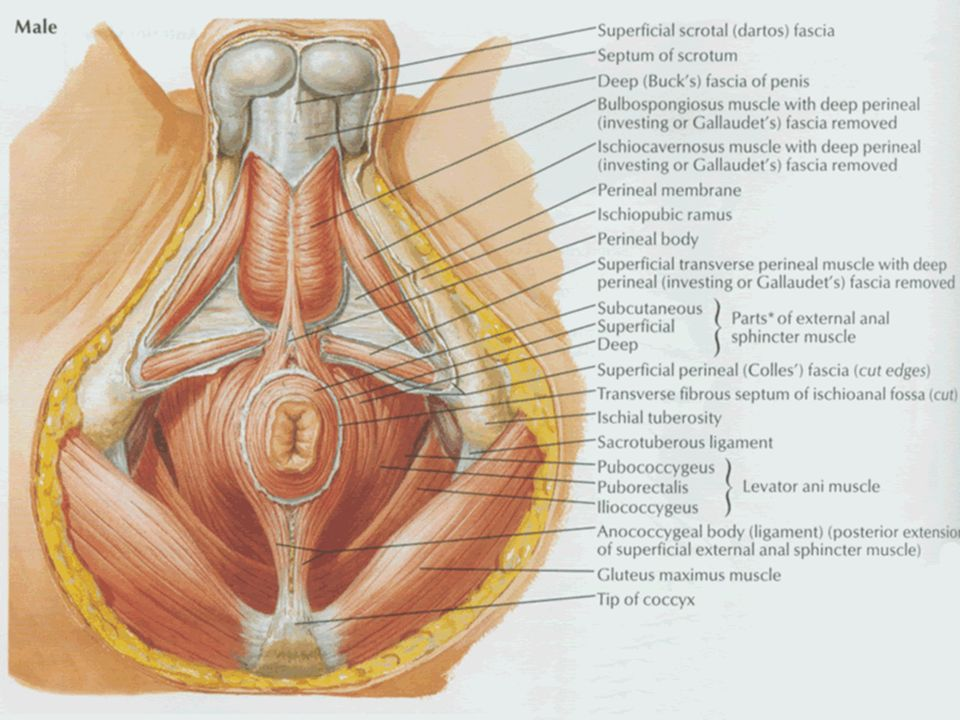 No Female Genital System 2 Perineum Ppt Video Online Download