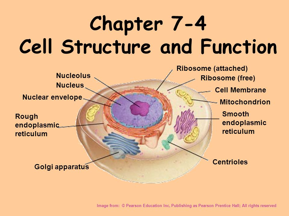 Chapter 7 4 Cell Structure And Function Image From