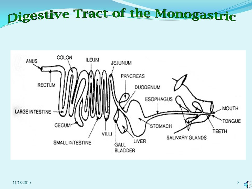 111820151 daily food for thought list the basic trace of food monogastric carnivores and omnivores have monogastric digestive systems ccuart Gallery