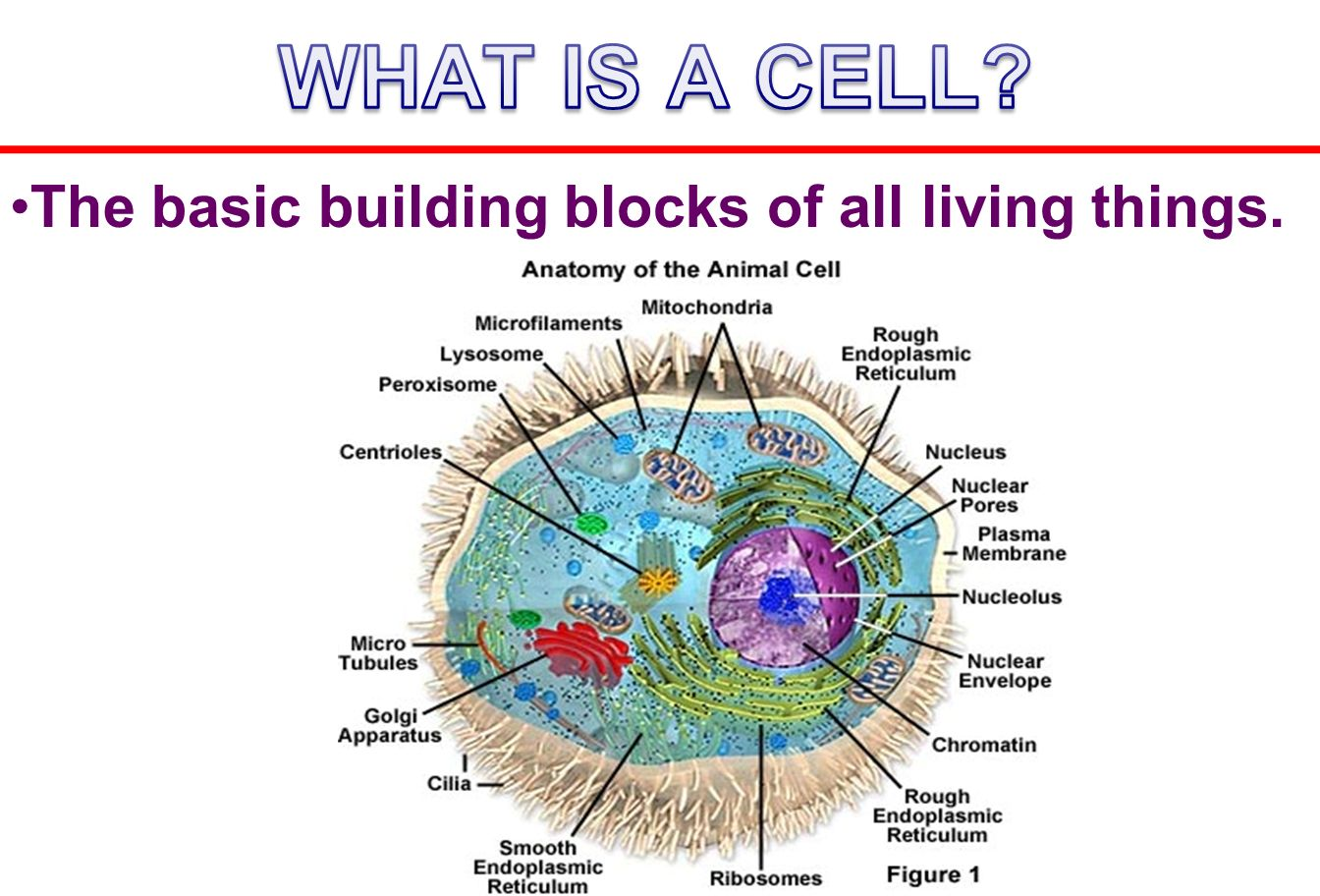 Basic Animal Cell Related Pictures Diagram With Labels Animaldefine The Building Blocks Of All Living Things Download 1344x912