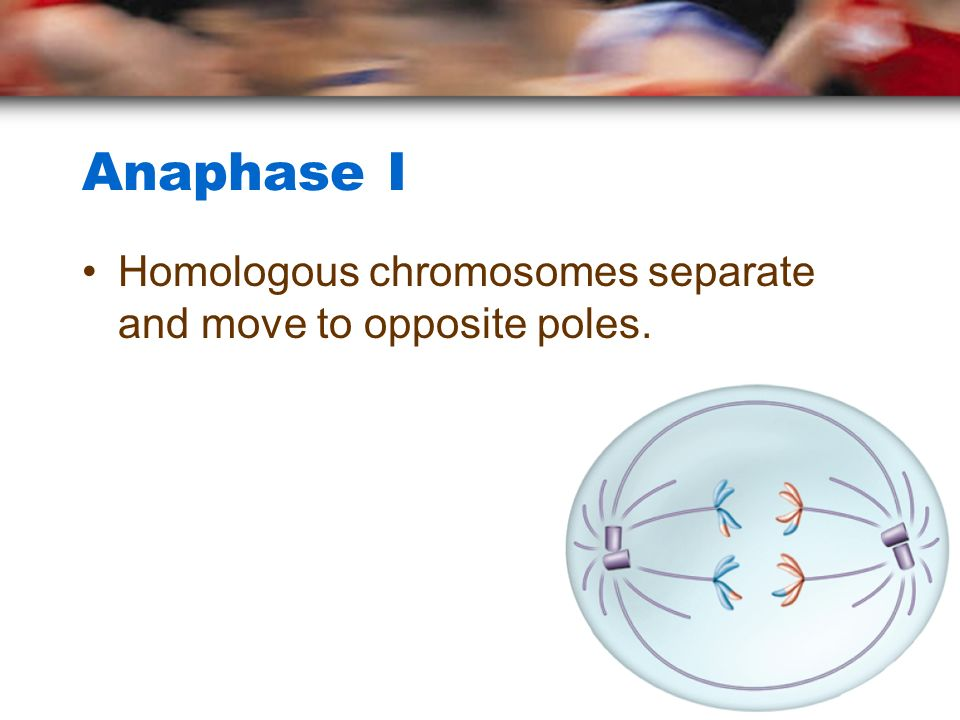 Anaphase I Homologous chromosomes separate and move to opposite poles.
