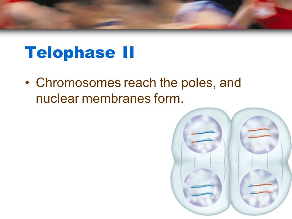 Telophase II Chromosomes reach the poles, and nuclear membranes form.