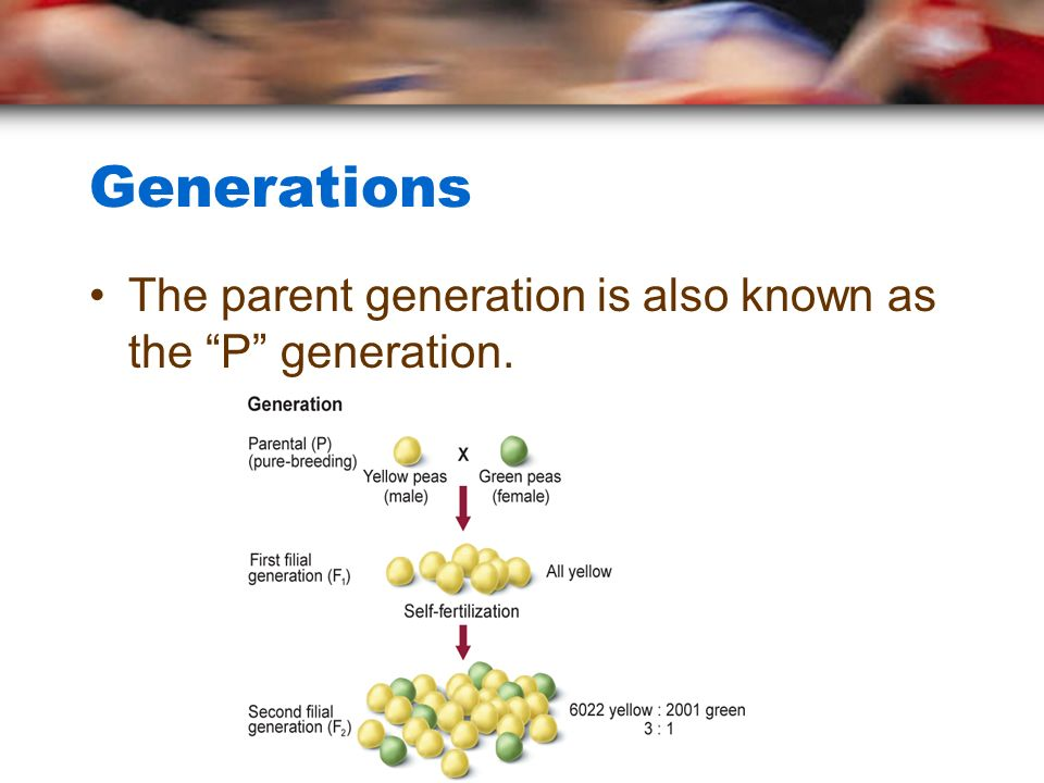 Generations The parent generation is also known as the P generation.