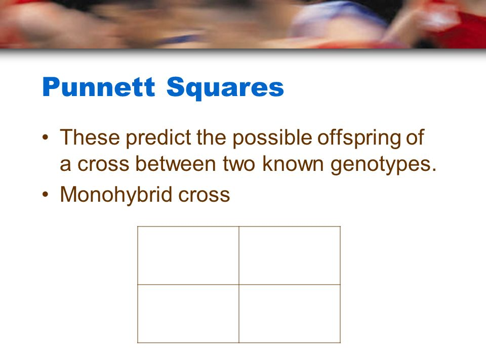 Punnett Squares These predict the possible offspring of a cross between two known genotypes.