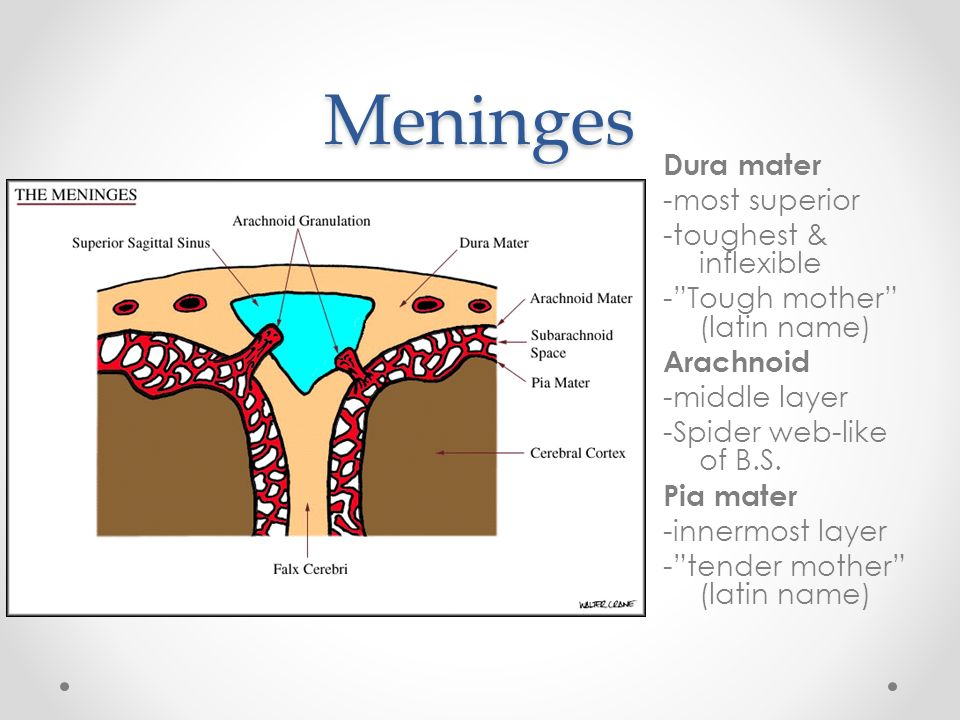 Meninges Csf And Blood Supply Of The Head And Neck Ruhaizan Diyana