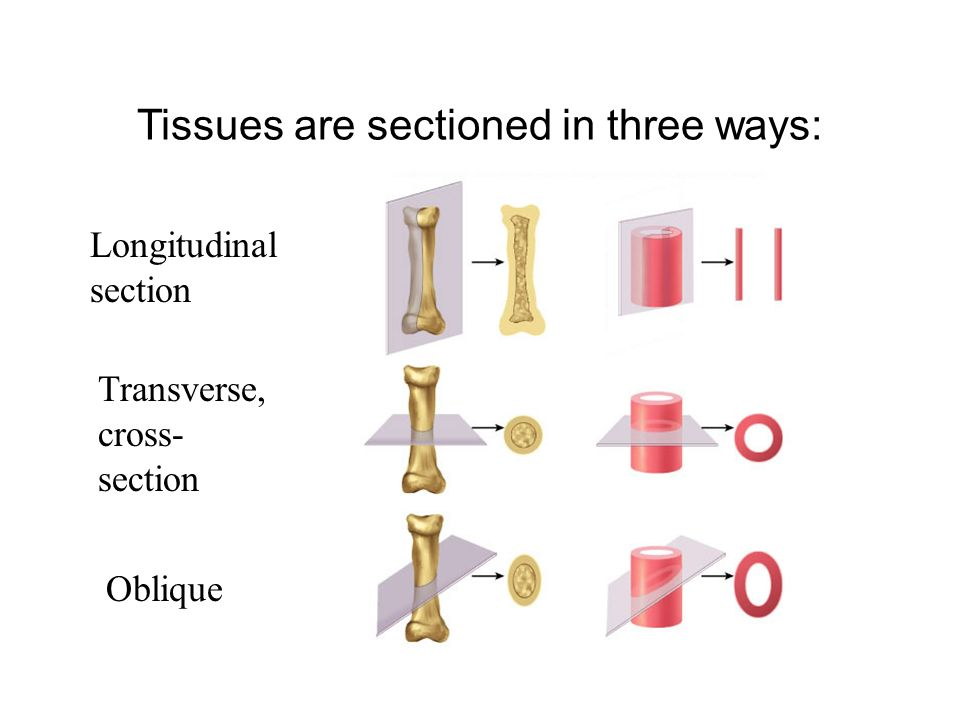 Histology Anatomy 10a Tissues Are Sectioned In Three Ways