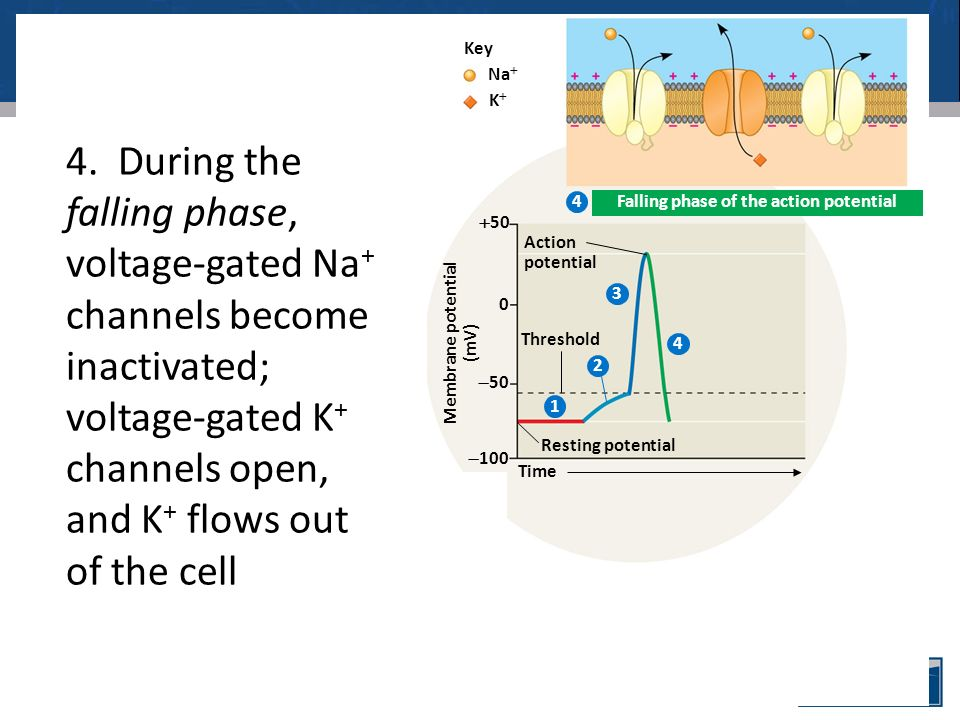 OUTSIDE OF CELL INSIDE OF CELL Inactivation loop Sodium channel Potassium channel Action potential Time Membrane potential (mV)  50  100  50 0 Na  KK Key Resting state Depolarization Rising phase of the action potential 3.During the rising phase, the threshold is crossed, and the membrane potential increases to and past zero