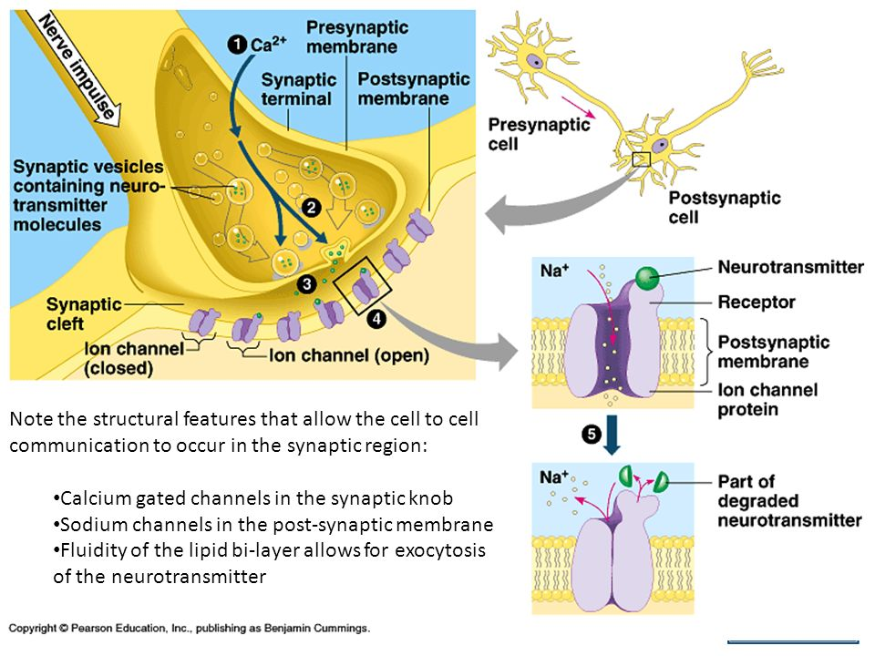 Cell To Cell Communication Events 1.Action potential depolarized the membrane of synaptic terminal, this triggers an influx of Ca 2+.