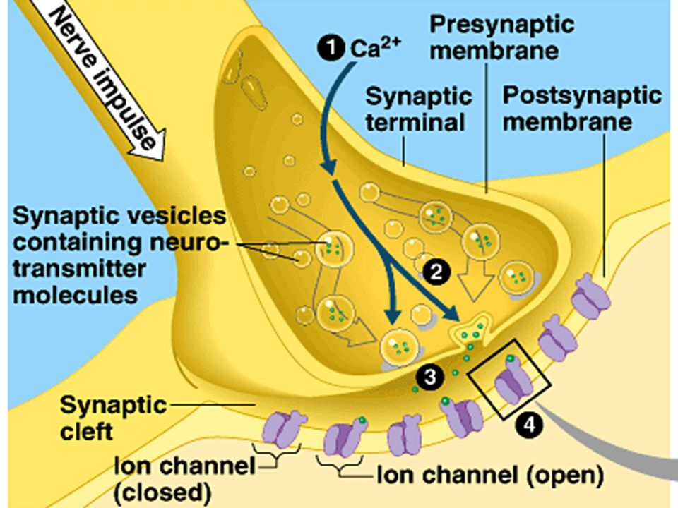 Note the structural features that allow the cell to cell communication to occur in the synaptic region: Calcium gated channels in the synaptic knob Sodium channels in the post-synaptic membrane Fluidity of the lipid bi-layer allows for exocytosis of the neurotransmitter
