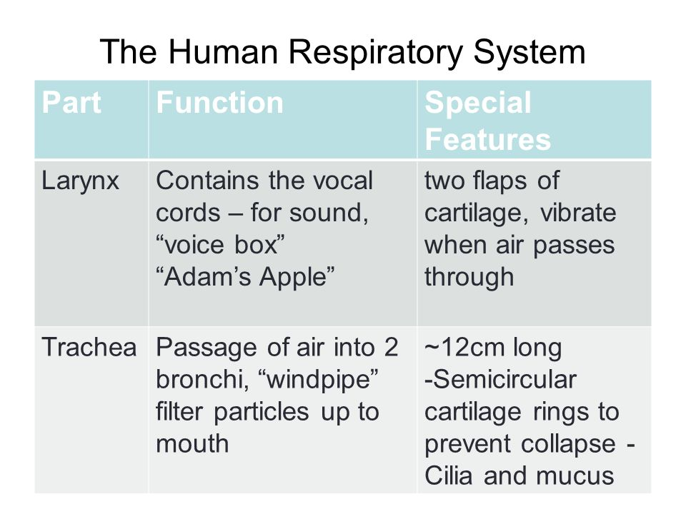 human respiratory system functions