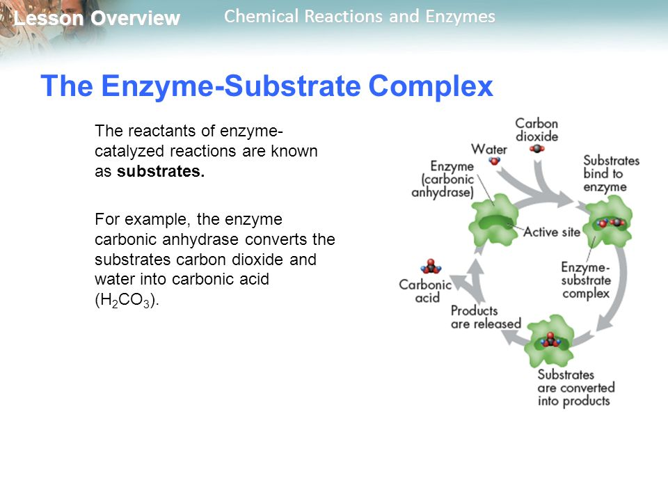 Lesson Overview Lesson Overview Chemical Reactions and Enzymes The Enzyme-Substrate Complex The reactants of enzyme- catalyzed reactions are known as substrates.