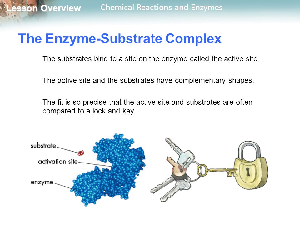 Lesson Overview Lesson Overview Chemical Reactions and Enzymes The Enzyme-Substrate Complex The substrates bind to a site on the enzyme called the active site.