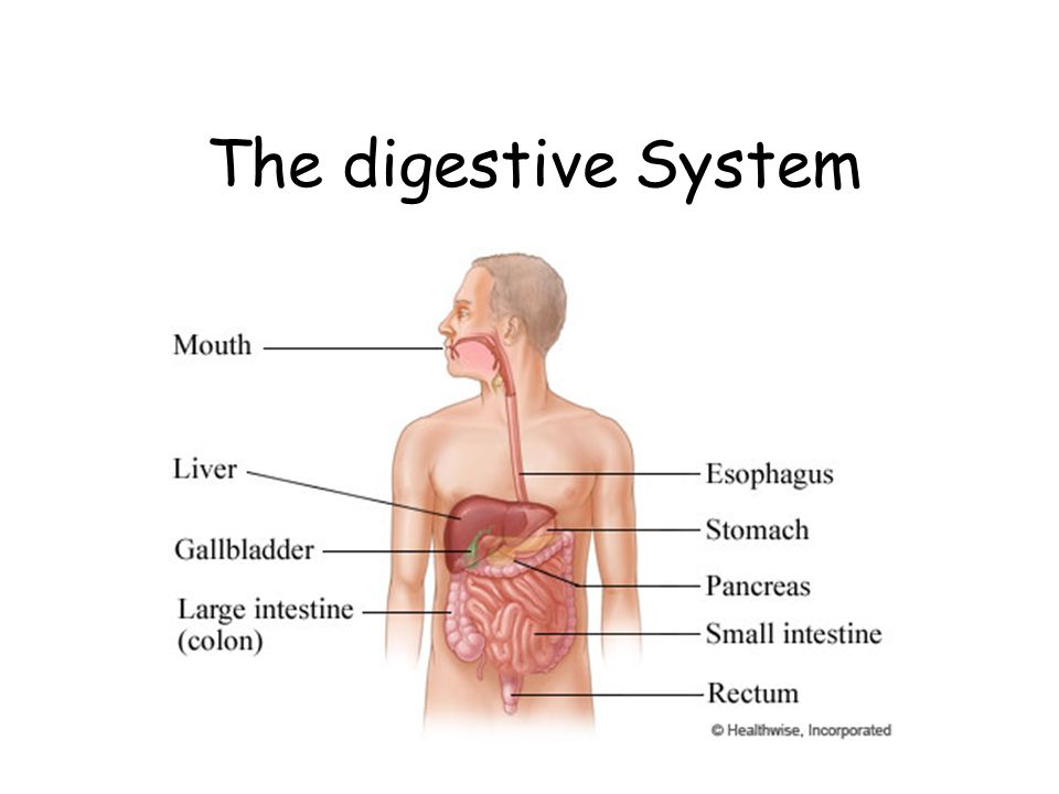 The Digestive System Facts About The Digestive System How Much
