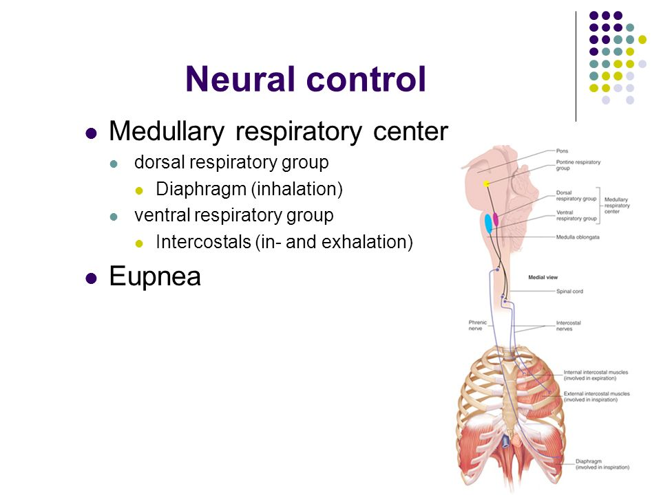 Human Anatomy and Physiology Control of Respiration. - ppt download