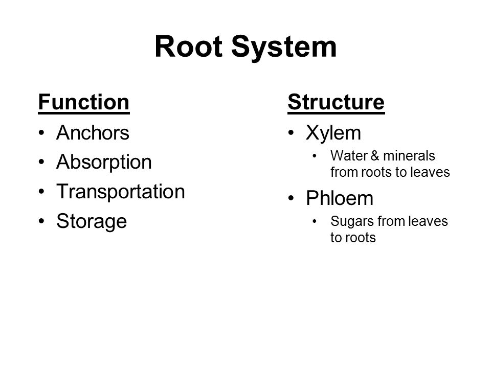 Root System Function Anchors Absorption Transportation Storage Structure Xylem Water & minerals from roots to leaves Phloem Sugars from leaves to roots