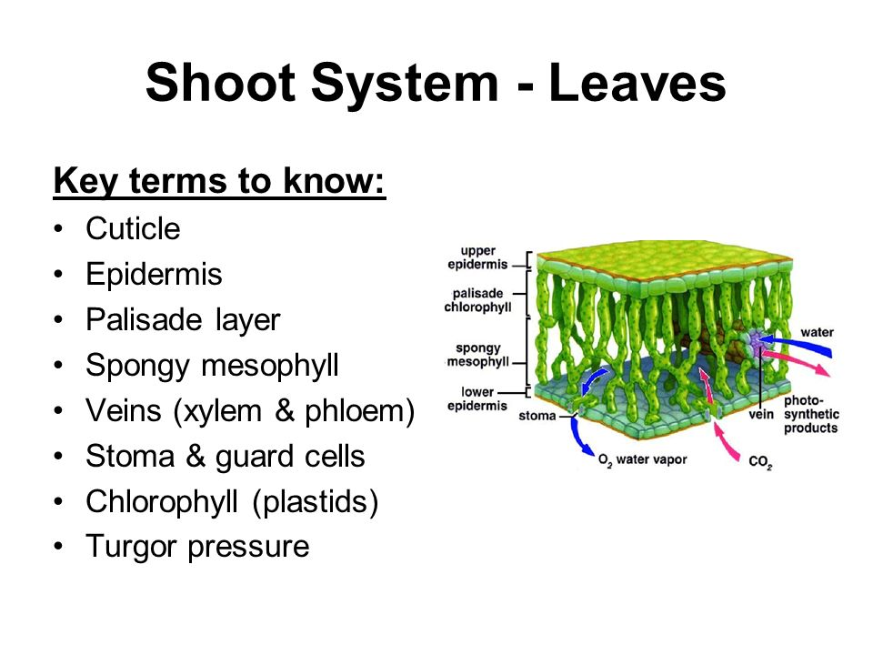 Shoot System - Leaves Key terms to know: Cuticle Epidermis Palisade layer Spongy mesophyll Veins (xylem & phloem) Stoma & guard cells Chlorophyll (plastids) Turgor pressure