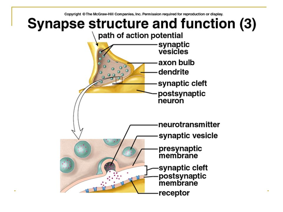 Chapter 48 nervous system the nervous system neurons glial cells 8 simple nerve circuit sensory neuron convey information to spinal cord interneurons information integration motor neurons convey signals to effector ccuart Image collections