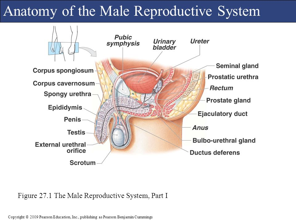 C h a p t e r 27 The Reproductive System PowerPoint