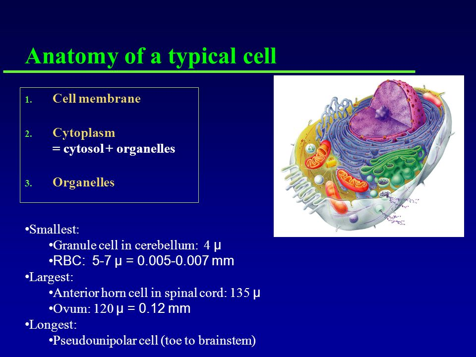 Goals: Anatomy of a typical cell Cell Membrane Discussion of ...