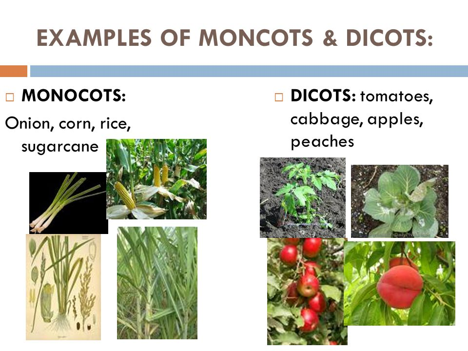 Plants – day 3 monocot & dicots. Ppt video online download.