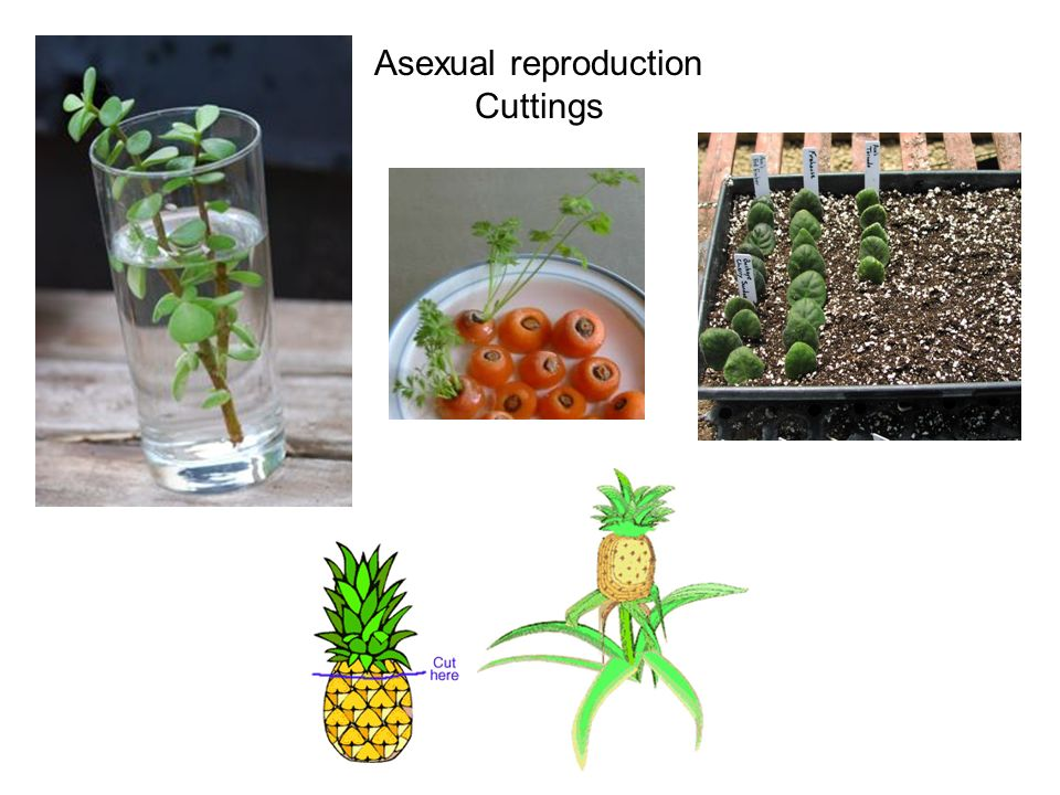 Plantlets asexual reproduction