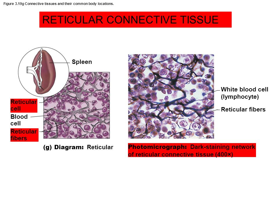 figure 3 19g connective tissues and their common body locations