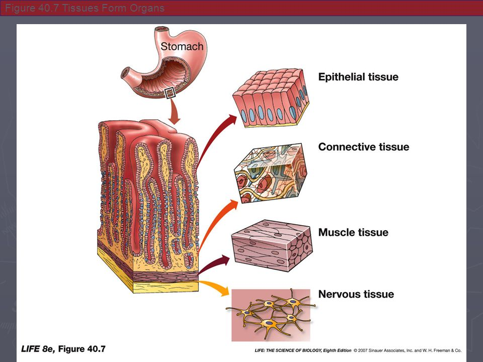 Histology Study Of Tissues Physiological Systems Are Made Up Of
