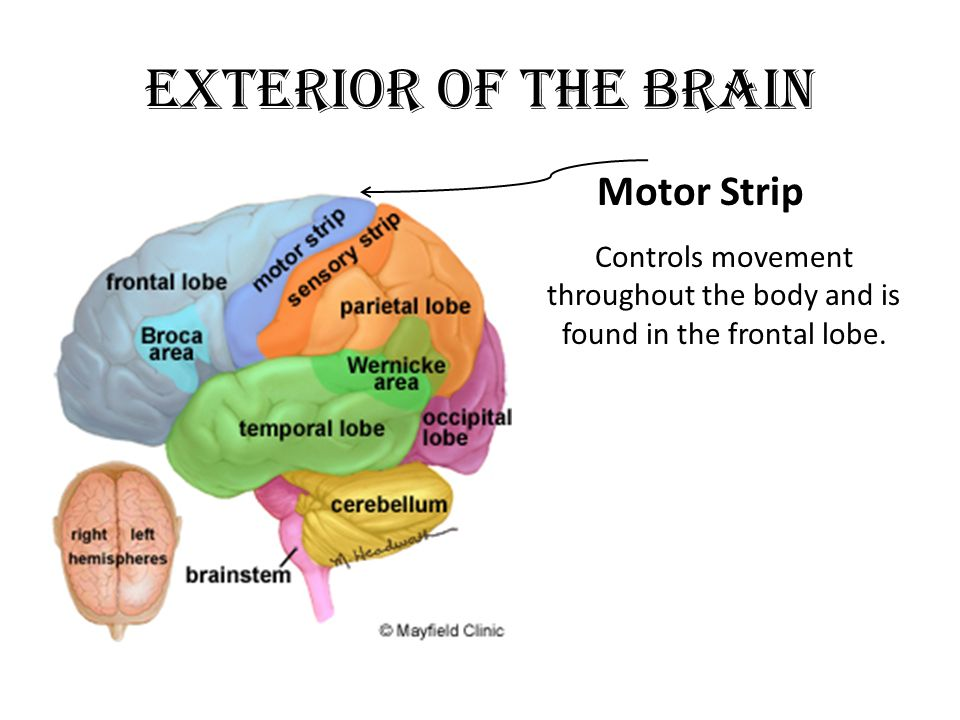 Think, you Motor strip in the brain system apologise, but