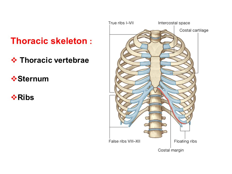 Thoracic Skeleton Thoracic Vertebrae Sternum Ribs Ppt