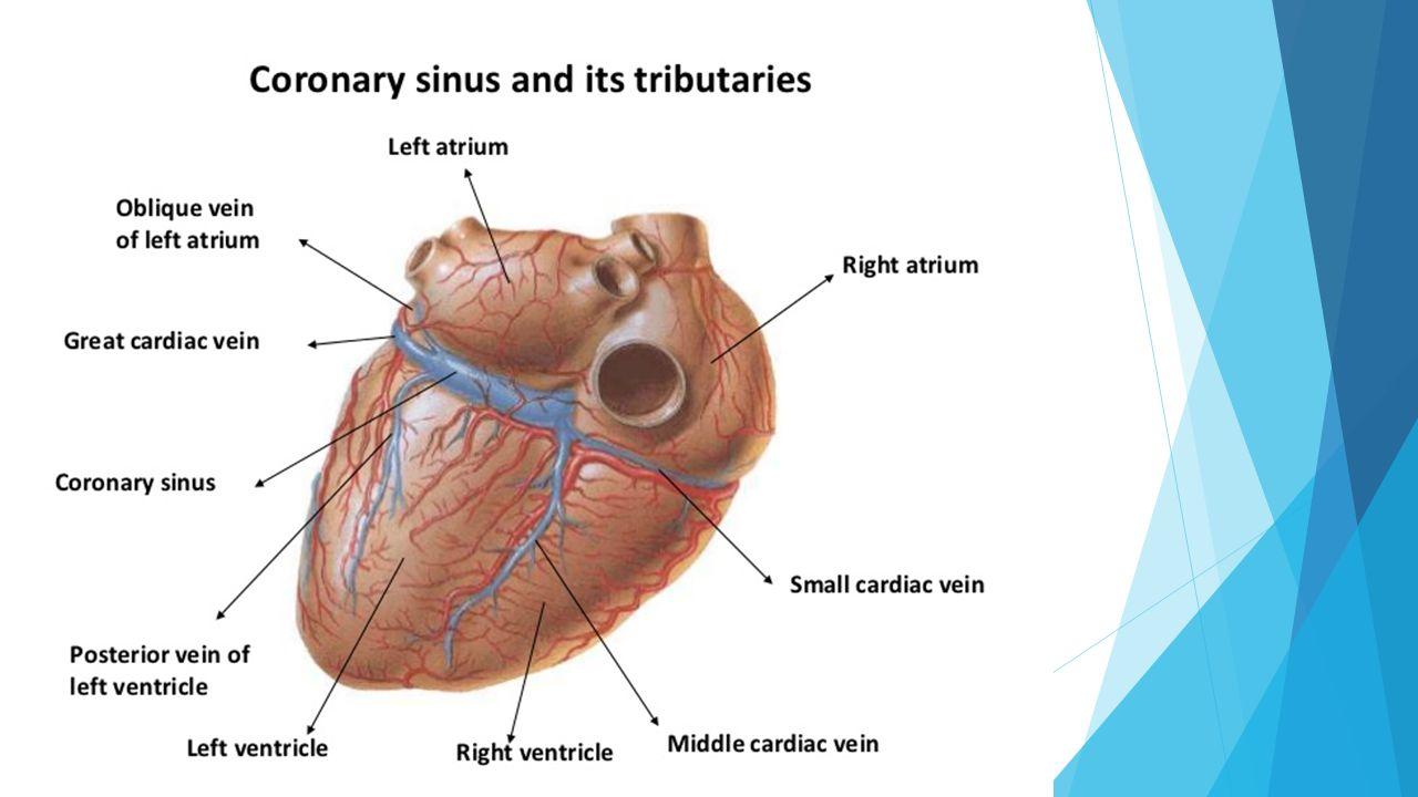 Arterial Supply  Right coronary artery  Left coronary artery ...