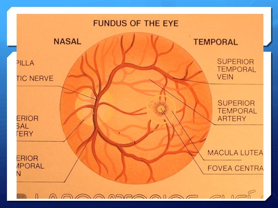 Fundus Of Eye Anatomy Images - human body anatomy