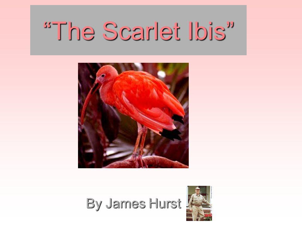 ibis a