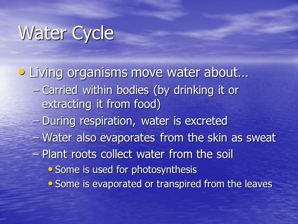 Water Cycle Living organisms move water about… Living organisms move water about… –Carried within bodies (by drinking it or extracting it from food) –During respiration, water is excreted –Water also evaporates from the skin as sweat –Plant roots collect water from the soil Some is used for photosynthesis Some is used for photosynthesis Some is evaporated or transpired from the leaves Some is evaporated or transpired from the leaves