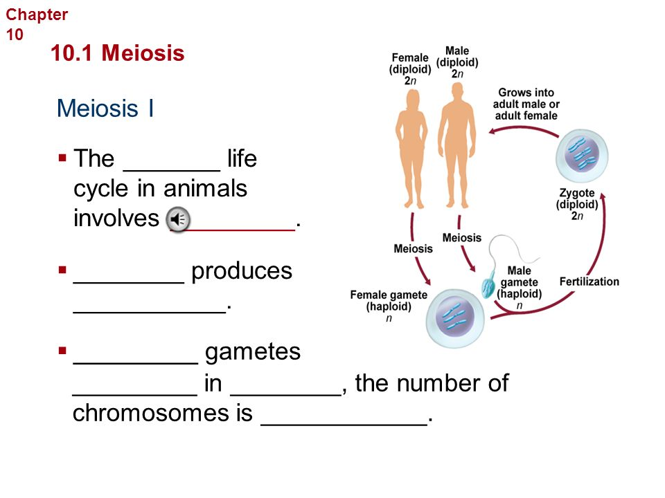 Meiosis is the way that: An ________ produces ________ to ______ the same number of _________ from generation to ____________.